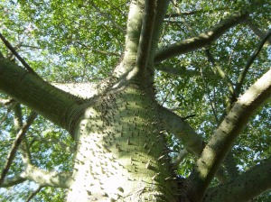 Towering silk floss tree