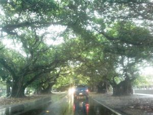 Ma's favorite avenue in Miami...of banyan trees